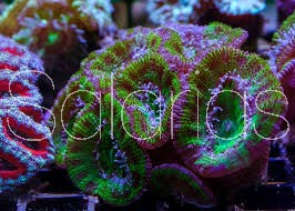 ACANTHASTREA lordhowensis Green Fluo Australia